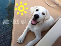 White Lab puppy in the morning - he's always smiling 😃