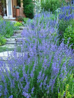 growing lavender in the midwest // choose English (L. angustifolia 'Munstead' or 'Hidcote') instead of French or Spanish