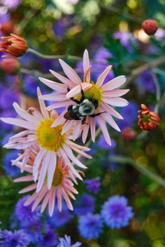 Julie's Garden (Wife, Mother, Gardener) A bee enjoying perennial mum Dendranthema 'Sheffield Pink' and double purple Aster hybrida 'Peter III'. Beautiful Flowers, Garden Inspiration, Planting Flowers, Love Garden, Flowers, Floral Garden, Bloom, Trees To Plant, Perennials
