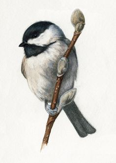 Chickadee and Pussy Willows Art Print Watercolor Bird Painting