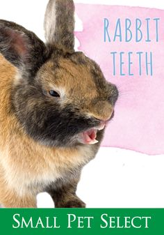 Problem teeth can affect your rabbit's health. Keeping a close eye on your bunny's chompers (and feeding a healthy diet) is key to preventing problems. Dental Hygiene, Dental Health, Pet Health, Rabbit Eating, Funny Feeling, Bone Diseases, Good Genes, Dental Problems