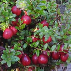 Bio-Jungpflanzen von BIONANA Apple, Fruit, Usa, Food, Ground Cover Plants, Crop Rotation, Eating Raw, Harvest Season, Mulches