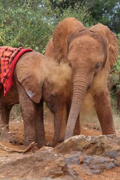 Mbegu (right) helps Ngilai play in the dust. Baby elephants, orphans, rescued. THE DAVID SHELDRICK WILDLIFE TRUST, KENYA.