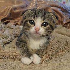 【初めてお家に来た日】  #京タカ #ねこマルシェ #スコティッシュフォールド #スコティッシュ #男の子 #愛猫 #はるま #たれ耳 #子猫 #猫 #ねこ #こねこ #cat #kitty #instacat #ScottishFold