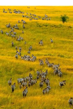 Safari~ An aerial view of a herd of zebra on the move, Masai Mara National Reserve, Kenya Zebras, Chobe National Park, Les Continents, Okavango Delta, Out Of Africa, Kenya Africa, East Africa, Mundo Animal, African Animals