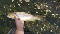 I saw this brownie from the bridge. And a caught it 10 minutes afterward. This 39 cm trout from Dyje river ate black woolly bugger.