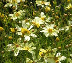 Moonbeam' is a real standout. Its pale yellow flowers are borne in great abundance above delicate, needlelike foliage and seem to blend well with practically every color we've tried.
