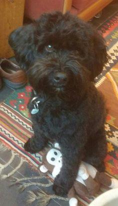 20160408 Third birthday Australian Labradoodle, Third Birthday, Dogs, Animals, Animales, Animaux, Doggies, Animal, Animais