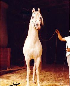 Malik (Hadban Enzahi x Malikah)