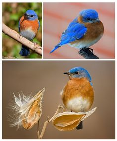 P@tty Perline  : Eastern BlueBird (Sialia sialis) necklace and earr...