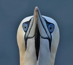 Gannet by Aat Bender on 500px.    Notice the placement and angle of the eyes.