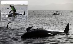 198 whales stranded on a New Zealand beach as volunteers fight to keep them alive... and nobody can explain why they ended up there  http://www.dailymail.co.uk/news/article-2952225/Fear-grows-200-whales-stranded-New-Zealand-beach-24-reported-died.html