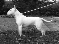 English Bull Terrier. Always wanted one when I was growing up.
