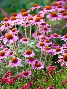 Coneflower. tolerates full sun to light shade. bloom from early summer to fall. one of the most hardy perennials.