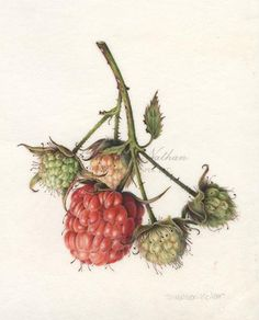 Reference on Berry Illustration Denise Walser-Kolar Art And Illustration, Botanical Illustration, Illustrations, Botanical Drawings, Botanical Prints, Plant Drawing, Painting & Drawing, Historia Natural, Illustration Botanique