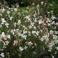 """Gaura lindheimeri. De gewone Prachtkaars leeft meestal maar een paar jaar, maar bloeit dan wel doorlopend van juli tot en met oktober. Hoogte rond de 80 cm. """"Whirling Butterflies"""" is een veelgebruikte cultivar."""