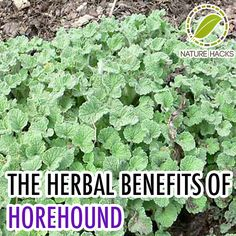 Horehound and Its Herbal Healing Uses