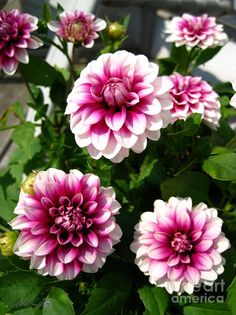 I've never been big into floral tattoos, but I can't wait to get a Dahlia tattoo for my sweet Dahlia RIP