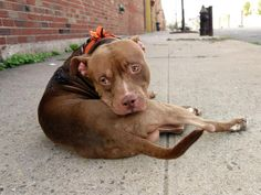 TO BE DESTROYED 9/12/14 Brooklyn Center -P My name is TYSON. My Animal ID # is A1012612. I am a male brown and white pit bull mix. The shelter thinks I am about 3 YEARS old. I came in the shelter as a OWNER SUR on 09/02/2014 from NY 11213, owner surrender reason stated was LLORDPRIVA.