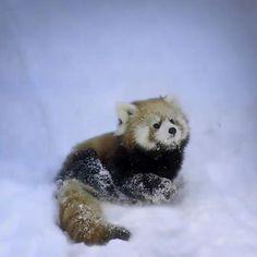 Adorable Baby Red Panda ~❥