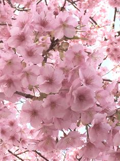 Image in nature collection by Olivia Adkin on We Heart It Blooming Trees, Flowering Trees, White Cherry Blossom, Cherry Blossoms, Pretty In Pink, Beautiful Flowers, Sakura Sakura, Spring Scenery, Spring Pictures