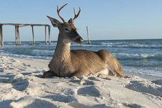 Deer on the beach at Perdido Key