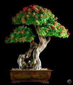 Flowering Bonsai....I have wanted a bonsai tree for like 7 years now. Its ridiculous