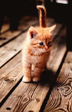These cute kittens will bring you joy. Cats are wonderful creatures. Kitten Baby, Kittens Cutest Baby, Baby Cats, Baby Animals, Cute Animals, Pet Cats, Adorable Kittens, Animals Images, Cute Kittens For Sale