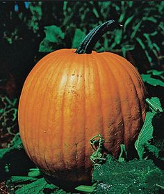Pumpkin, Connecticut Field, heirloom. It is the original Halloween pumpkin and makes great pies too.  (Pic from Burpee site.)