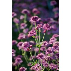 Seeds to sow in August - Astrantia 'Ruby Cloud'