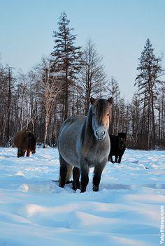 Pregnant Yakut horses
