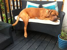 Hard life.... Dogue de Bordeaux!!!!!
