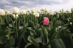 A Guide to the Tulip Fields in the Netherlands