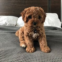 The Cavapoo is a crossbreed that results from breeding a Poodle and a Cavalier King Charles Spaniel. Cavapoos were initially created to be hypoallergenic dogs and thus the ideal companion for… Super Cute Puppies, Cute Little Puppies, Cute Little Animals, Cute Dogs And Puppies, Adorable Dogs, Doggies, Cutest Dogs, Small Puppies, Lab Puppies