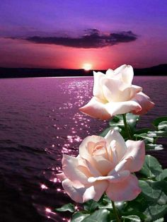 Beautiful like Aico Rose Images, Rose Pictures, Flower Images, Pretty Pictures, Flower Art, Wallpaper Nature Flowers, Flowers Nature, Flower Wallpaper, Very Beautiful Flowers