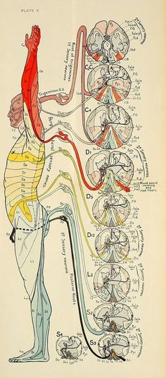 Acupuncture For Destress nemfrog: Plate X. Diseases of the nervous system. Body Anatomy, Anatomy Art, Human Anatomy, Medical Anatomy, Anatomy And Physiology, Massage Therapy, Physical Therapy, Human Body, Human Spine