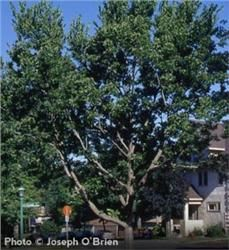 Hackberry Celtis occidentalis Tough and Durable Tree Withstands Wind and City Conditions Great Landscape Choice Grows with a spread Zones 3 to 9 Bush Garden, Garden Shrubs, Garden Landscaping, Trees And Shrubs, Trees To Plant, California Native Landscape, Healthy Delivery, Arbor Day Foundation