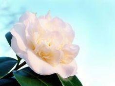 camellia flower ;;)