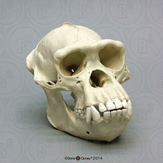 Gorilla Resin Model Anatomie Schädel Kopf Knochen Reptilien Terrarium