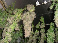 Marijuana growing guide how to dry buds ; Gardenista