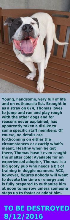 Brooklyn Center My name is THOMAS. My Animal ID # is A1084171. I am a male white and gray am pit bull ter mix. The shelter thinks I am about 2 YEARS I came in the shelter as a STRAY on 08/04/2016 from NY 11208, owner surrender reason stated was STRAY. http://nycdogs.urgentpodr.org/thomas-a1084171/
