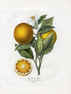 Poiteau & Risso Antique Fruit Prints 1818 Oranges & Lemons
