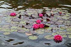 Lirio de agua rojo Chrysanthemum, Koi, Plants, Painting, Calla Lily, Flowers, Nymph, Painting Art, Paintings
