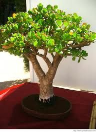 trees interior There are many different types of plants used when making Bonsai trees . There are many different types of plants used when making Bonsai trees . Almost all perennial woody-stemmed trees and shrubs can be used. Jade Plant Bonsai, Ficus Bonsai, Juniper Bonsai, Succulent Bonsai, Jade Plants, Bonsai Plants, Bonsai Garden, Cacti And Succulents, Planting Succulents