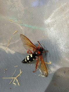 Ground Hornet! They make their nest in the ground. And make two holes in the ground; for an entrance and exit.