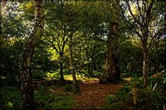 Sherwood Forest is a Royal Forest in Nottinghamshire, England, that is famous through its historical