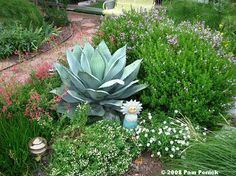 'Whale's Tongue' agave is the focal point of the courtyard, also white skullcap, Blackfoot daisy, and Mexican oregano, plus the rock penstemon. Agave Attenuata, Mexican Garden, Agave Plant, House Plant Care, Low Maintenance Garden, Agaves, White Gardens, Ornamental Grasses, Landscaping Plants