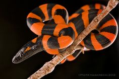 Ringed Python - Bothrochilus