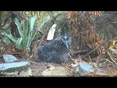 2016 Albatross Cam - 3/25 - Sopping Wet Kialoa Plays with Leaves
