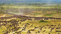 Wildebeest migration is unique wildlife safaris in Africa. Booking African safaris is easier by choosing sample 7 days 6 nights Tanzania safari itinerary to plan your Africa travel. Check the 7 days 6 nights Tanzania safari itinerary - http://www.kili-tanzanitesafaris.com/safariluxurysafaris.htm
